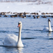 Swans on the river — Stock Photo #12707990