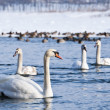 Swans on the river — Stock Photo #12708009