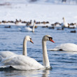 Stock Photo: Swans on river