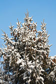 Fir tree in the snow — Stock Photo