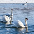 Stock Photo: Swans on the river