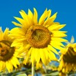 Sunflower on the field — Stock Photo #12800737
