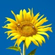 Sunflower on the field — Stock Photo #12800773