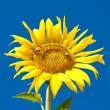Sunflower on the field — Stock Photo