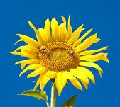 Sunflower on the field — Stock Photo