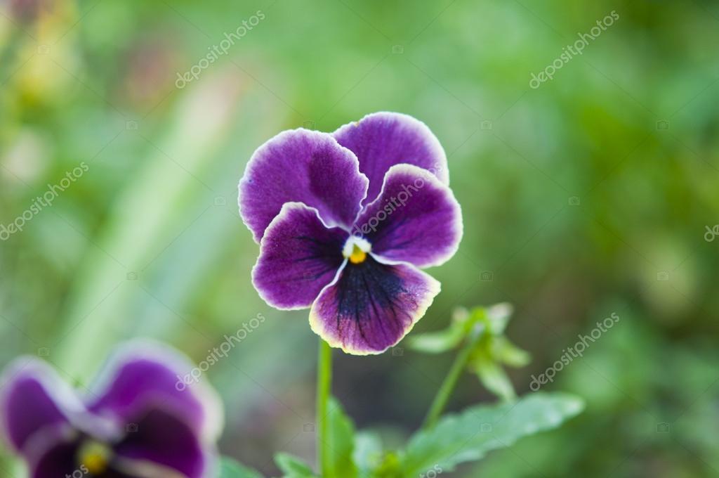 紫丁香花紫罗兰绽放花床上 — 照片作者 ksena32