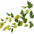 Hops plant  — Stock Photo