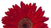 Red gerbera — Stock Photo