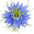 Cornflower — Stock Photo #13171358