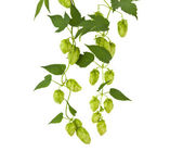 Hops plant twined vine, young leaves — Stock Photo