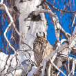 Owl in a tree — Stock Photo