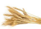 Ears of wheat isolated — Stock Photo