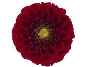 Red dahlia isolated — Stock Photo