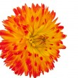 Beautiful dahlia flower - Stok fotoraf