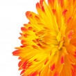 Beautiful dahlia flower - Stock fotografie