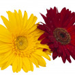 Yellow and red gerbera - Stok fotoraf
