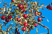 Apple tree with red apples — Stock Photo