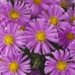 Pink small chrysanthemums — Stock Photo #13544527