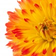 Beautiful dahlia flower isolated - Stock Photo
