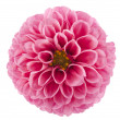 Pink of a dahlia isolated - Stock Photo