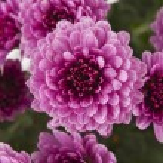 Chrysanthemums background — Stock Photo #13765286