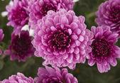 Chrysanthemums background — Stock Photo