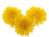 Yellow chrysanthemum isolated — Stock Photo