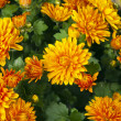 Orange Chrysanthemum Flowers — Foto de Stock