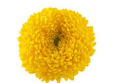 Yellow chrysanthemum isolated — Stock Photo