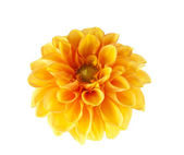 Orange dahlia isolated — Stock Photo