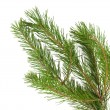Stock Photo: Pine branches isolated
