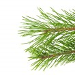 Pine branches isolated — Stock Photo #14048966