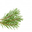 Pine branches isolated  — Stock Photo
