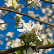 Apple flowers — Foto de Stock