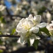 Apple flowers  — Stock Photo #14049432