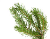 Branches de pin isolés — Photo