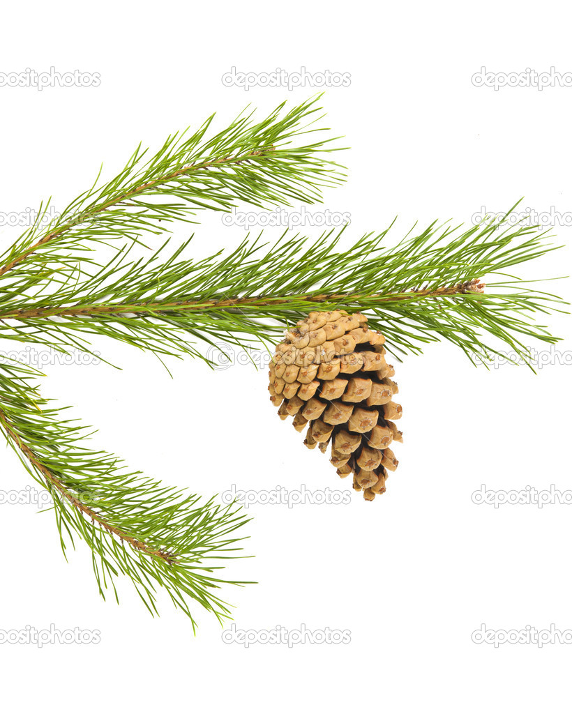 Sprig of pine cone isolated on white background — Stock Photo #14048856