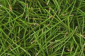 Green pine needles — Stock Photo