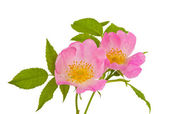 Wild rose flowers isolated — Stock Photo