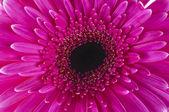 Gerbera cor de rosa — Fotografia Stock