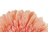 Gerbera con gotas aisladas — Foto de Stock