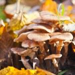 agaric cogumelos crescendo — Fotografia Stock  #14687719