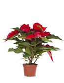 Poinsettia is a traditional Christmas Flower. — 图库照片