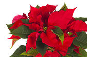 Poinsettia is a traditional Christmas Flower. — Stok fotoğraf