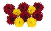 Red chrysanthemum isolated — Stock Photo