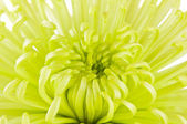 Lime Green Chrysanthemum Flower — Стоковое фото
