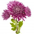 Beautiful chrysanthemum flower isolated - 图库照片