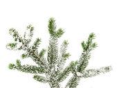 Větev stromu, pokryté sněhem — Stock fotografie