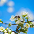 Blossoming branches of a tree — Stock Photo