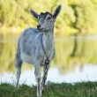 Goat grazed — Stockfoto